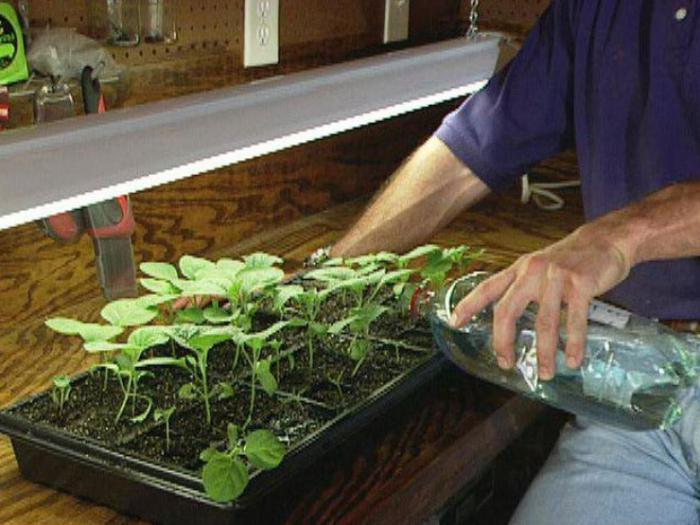 Уход за рассадой огурцов и помидор 14