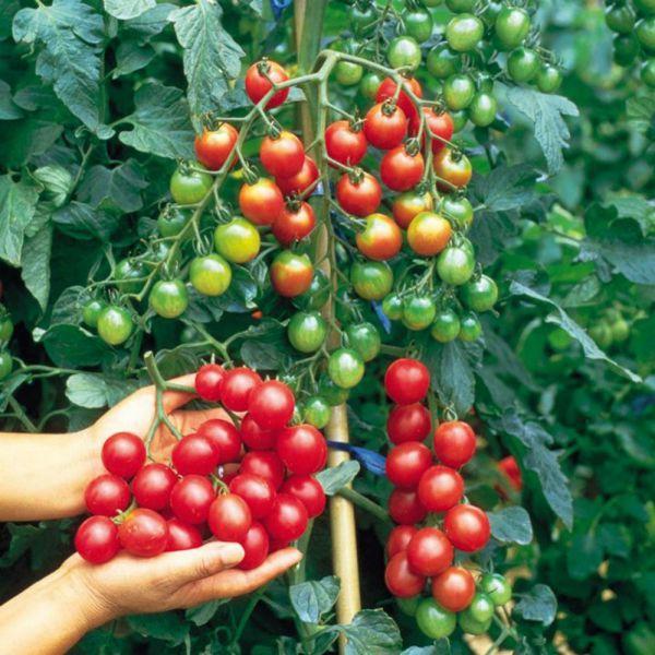Терёхины по выращиванию томатов 36