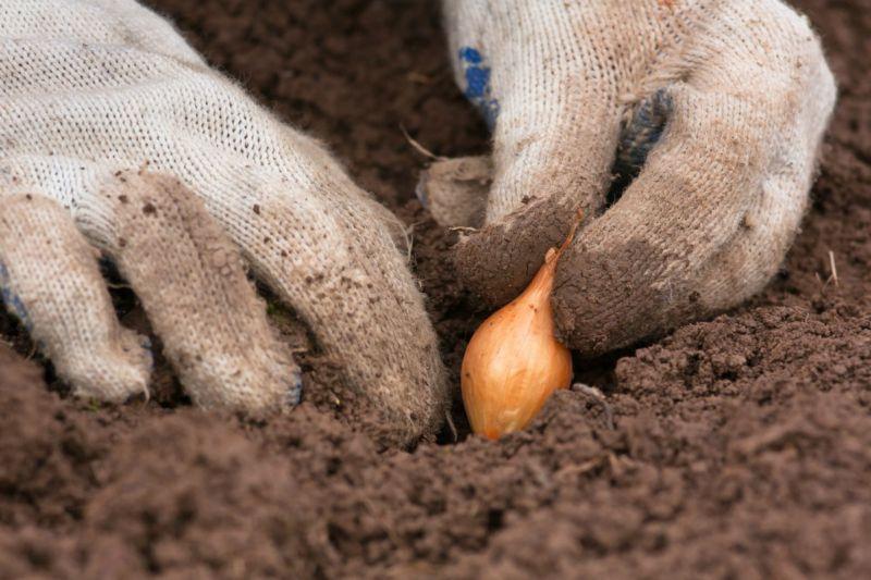 Когда сажать в грунт лук севок 203