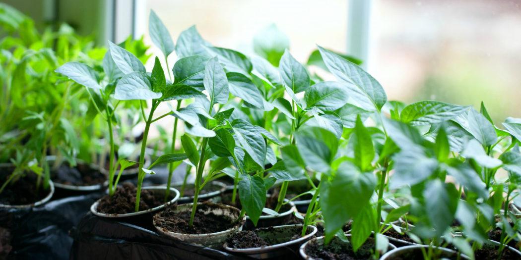 Катарантус выращивание из семян в домашних условиях с 35