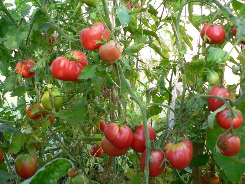 tomati8.jpeg