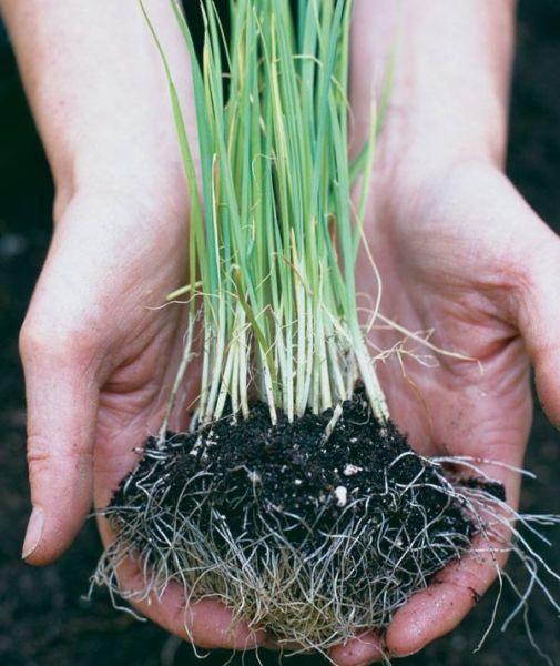 Лук порей на рассаду когда сеять по лунному календарю