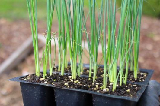 Выращивание лука-порей - посадка и уход в открытом грунте