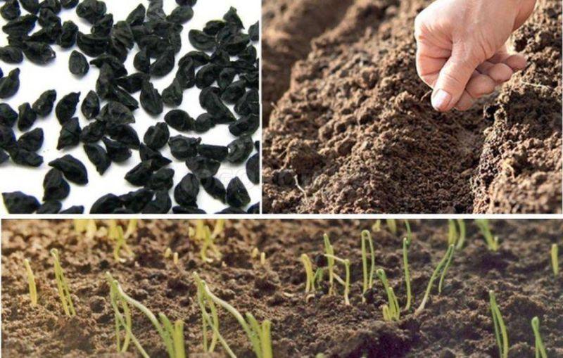 Репчатый лук когда сажать и как выращивать лук из семян