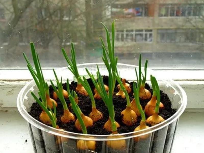 как вырастить лук севок дома