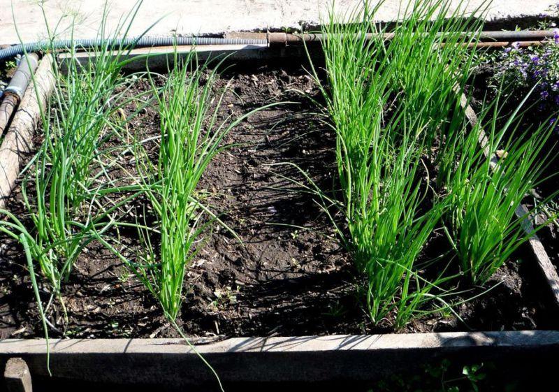 Как и когда сажать (садить) лук севок – выращивание и уход в открытом грунте