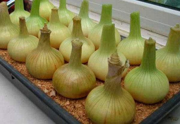 Лук севок на подоконнике выращивание в домашних условиях