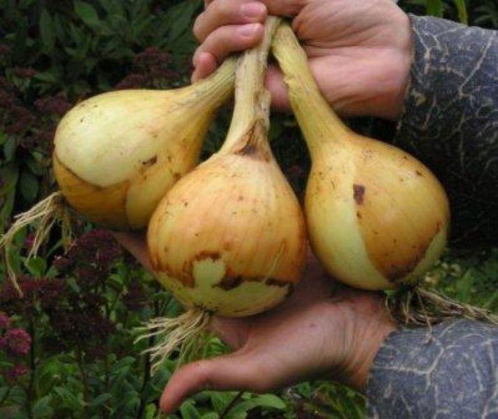 Когда сеять (сажать) лук Эксибишен в 2019 году? Выращивание лука из семян на рассаду