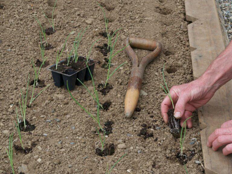 Когда сеять лук на рассаду в 2019 году по лунному календарю