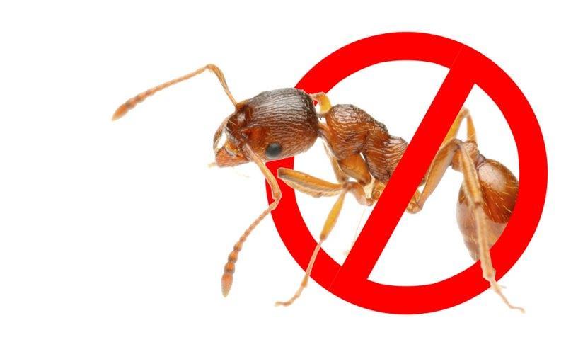 Как можно избавиться от муравьев в доме