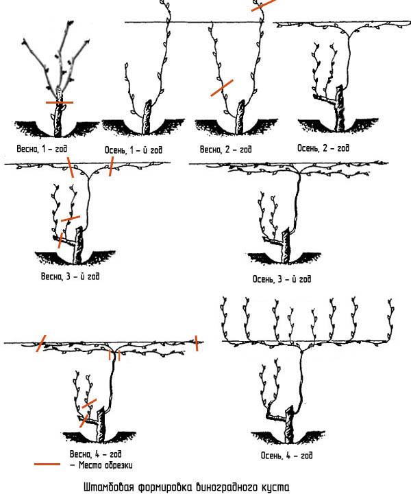 Обрезка винограда весной для начинающих в картинках пошагово