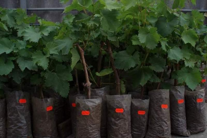 Выращивание винограда в подмосковье для начинающих