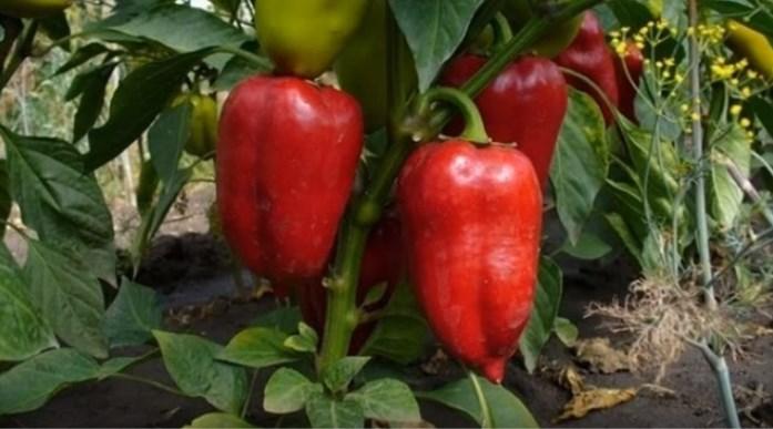 Перец – описания сортов с фото и урожайностью каждого сорта [Выпуск 1 из 3]