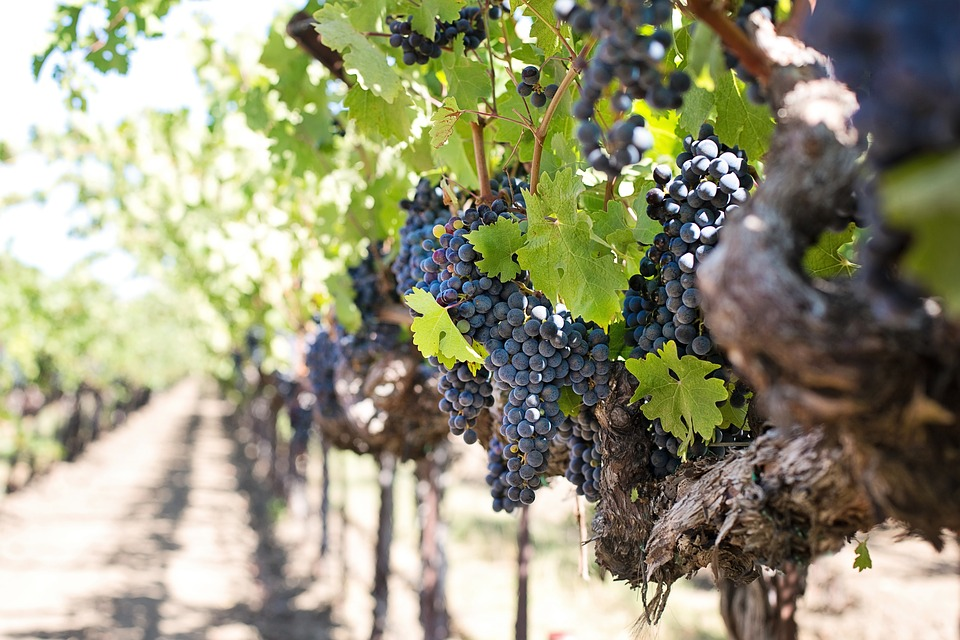 Как правильно посадить саженец винограда весной