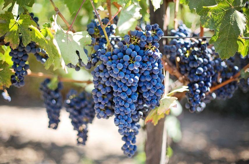Размножение винограда черенками зимой когда сажать способы вырастить в домашних условиях и подготовить саженцы к посадке