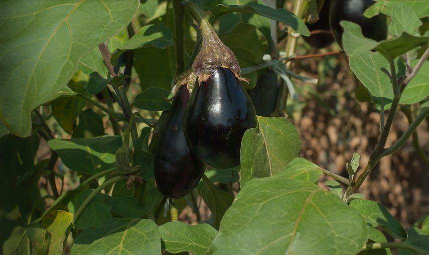 Сорта баклажан для Сибири для открытого грунта, семена для выращивания