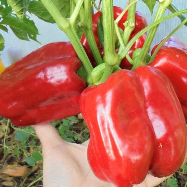 Перец Купец - отзывы и урожайность сорта