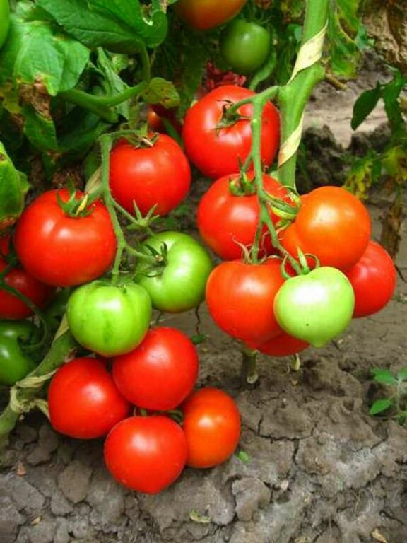 12-pomidor.jpg