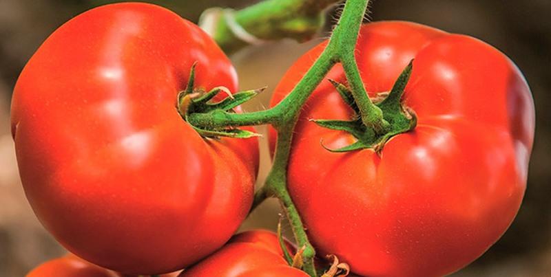 Лучшие сорта томатов для теплицы из поликарбоната с фото и описанием