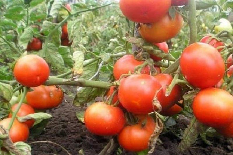 названия помидоров без пасынкования для теплиц