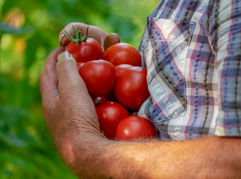 Томат Красавец мясистый характеристика и описание сорта урожайность с фото