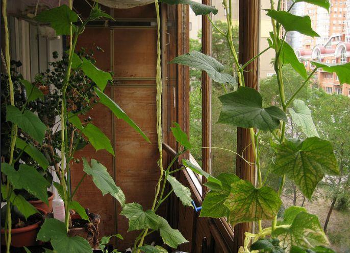 Можно ли вырастить огурцы на подоконнике зимой в квартире