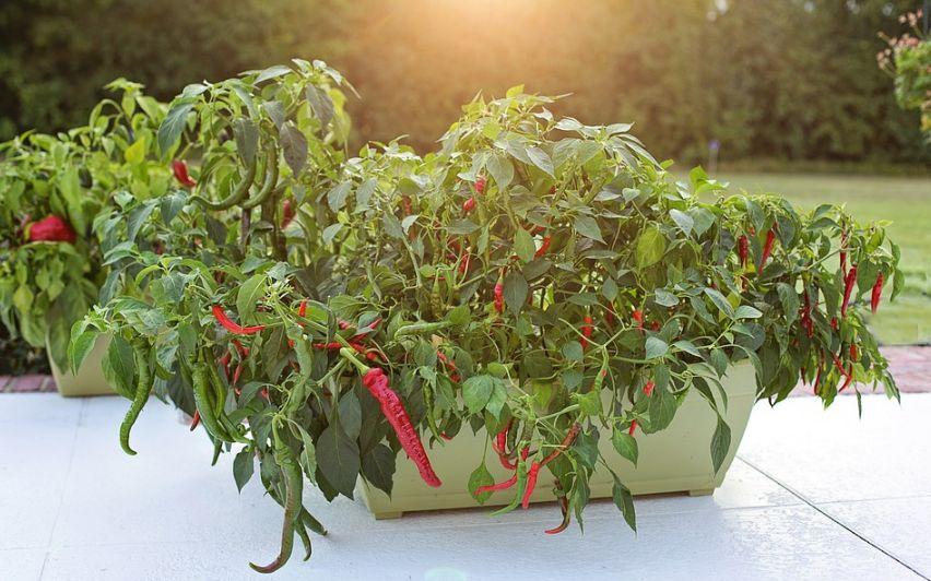 Перец чили: как вырастить на подоконнике из семян