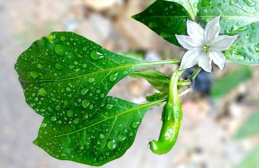 Как вырастить острый перец из семян на подоконнике?
